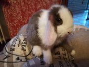 Tolle Minilop Kaninchen und ab
