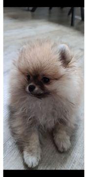 Pomeranian Rüde und Weibchen sind