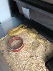 königspython Banana 100 het Peibald
