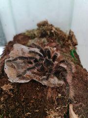 Vogelspinnen Terrarien