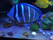 Zebrasoma veliferum - Pazifischer Segelflossen Doktorfisch