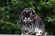 NHD Zwergwidder Zwergkaninchen Kaninchen Hasen