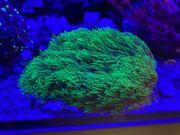 Briareum Hamrum 12x10 cm