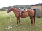 Quarter Horse Zuchtstute