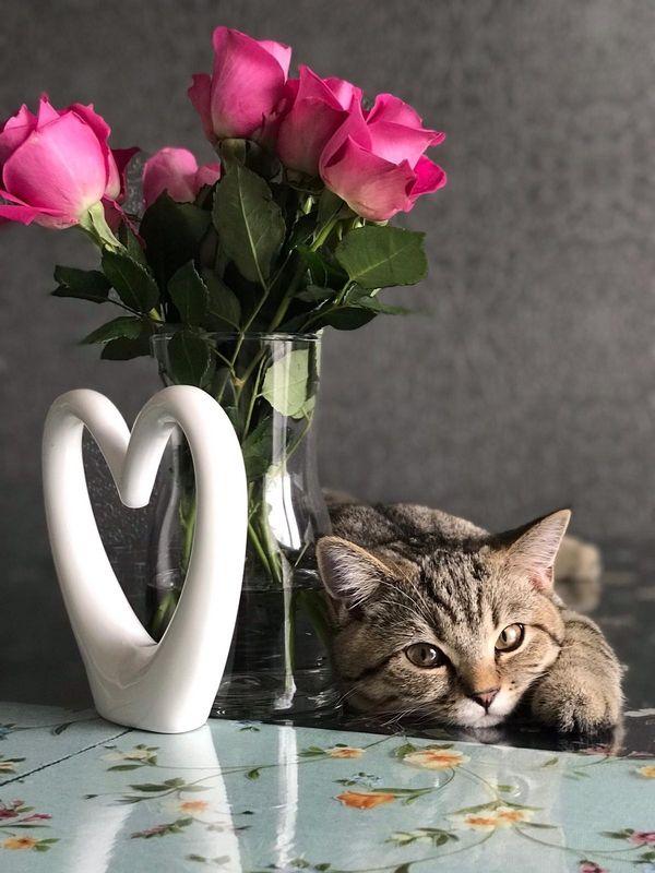 Britisch Kurzhaar - Katze BKH Kitten