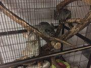 Drei graue Chinchilla-Weibchen mit komplettem