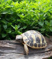 Grichische Landschildkröte