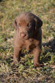 Wunderschöne braune Labrador Welpen 3