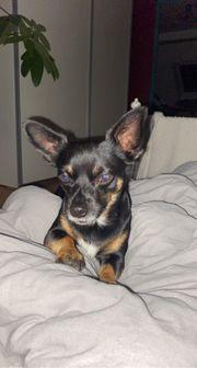 Chihuahua Deckrüde Jack Russel Deckrüde