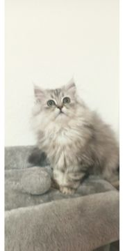 kitten chinchilla perser
