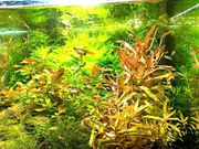 Cognacpflanze Aquariumpflanzen Versand Abholung