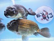 KOI 13 Anz 53 2020 Goldfisch -