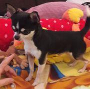 Mini Chihuahua Deckrüde