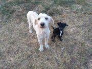 PudelMix 8mon Tierschutzhund