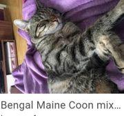 wunderschönes Maine coon mix Katerchen