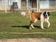 BELFOR - Moskauer Wachhund Mix - Wo