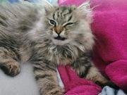 Perser Kätzchen 4 Monate sucht