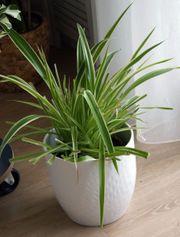 Grünlilie Zimmerpflanze