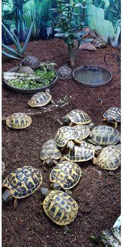 Europäische Landschildkröten-Babys