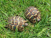 Schildkröte Nachzuchten Griechische Landschildkröten THH