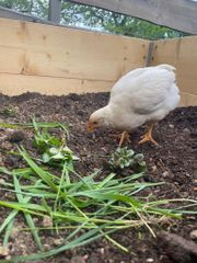 junge Hühner Hähne abzugeben