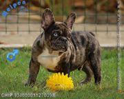 Charmante Französische Bulldoggen Welpen