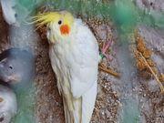 1 junges Lutino Nymphensittich Weibchen