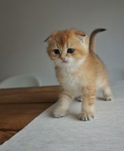 Goldene Scottish Fold Kitten mit