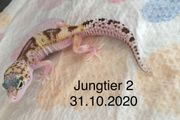 Leopardgecko Jungtier aus 2020
