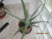 Aloe Vera Pflanzen verschiedene Größen