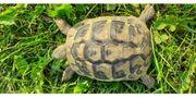 Schildkröte 2018 Griechische Landschildkröte Testudo