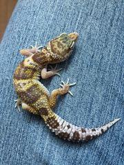 0 1 Leopardgecko Raptor het