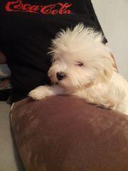 malteser hund welpen