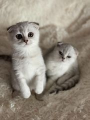 Zwei traumhafte Scottish Fold Kitten