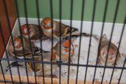 Stieglitz-Kanarienvogel Mischlingshennen