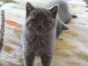 Britisch Kurzhaar Kitten Katzenbaby Nur