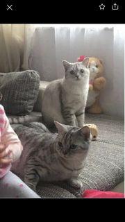 Britisch Kurzhaar Katzen Geschwister mit