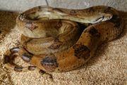 1 1 Boa constrictor sabogae