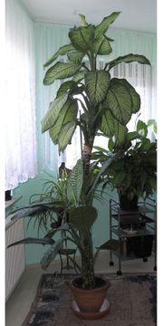 Zimmerpflanze Diffenbachia 7 Jahre alt