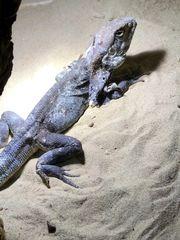 australische Kragenechse Chlamydosaurus kingii Bock