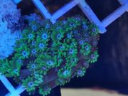 Meerwasser salzwasser Korallen Ableger