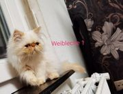 Perser kittens zum Verkauf