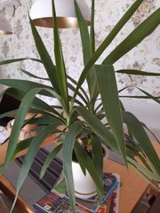 Yucca Palmlilie