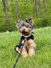 Yorkshire Terrier Weibchen 8 Monate