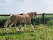 Jungpferd Pferd
