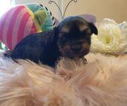 Black Tan Yorkshire Terrier Welpe