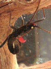 Peruanische Samtschrecke - Peruphasma Schultei in
