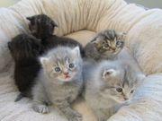 Zuckersüße Mix-Rasse Kitten abzugeben