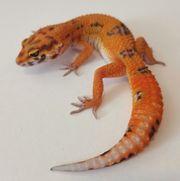 leopardgecko tangerine tremper 0 1