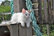 Norwegische Waldkatzen Kitten mit Paapieren